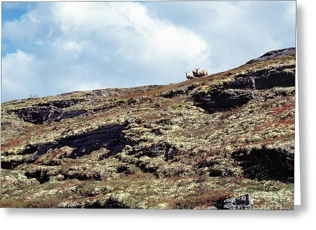 Sheep On The Mountain Ridge Greeting Card by Kim Lessel