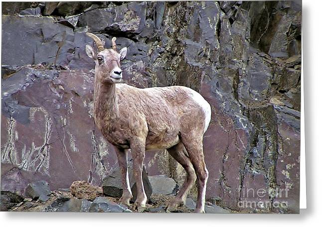 Sheep On The Rocks Greeting Card by Mel Manning