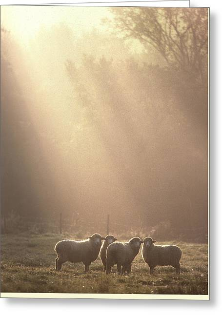 Sheep Underhill Vt Greeting Card by George Robinson