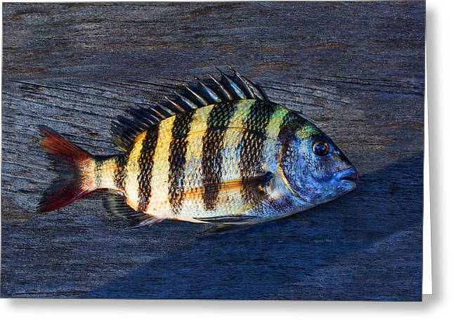 Sheepshead Fish Greeting Card
