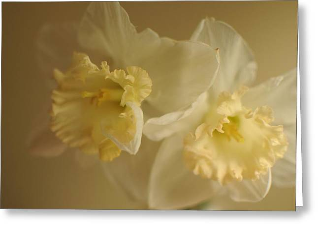 Sheer Daffodils Greeting Card by Beverly Cazzell