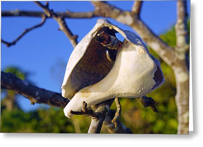 Shell On Brach Of Mangrove Tree At Barefoot Beach In Napes, Fl Greeting Card