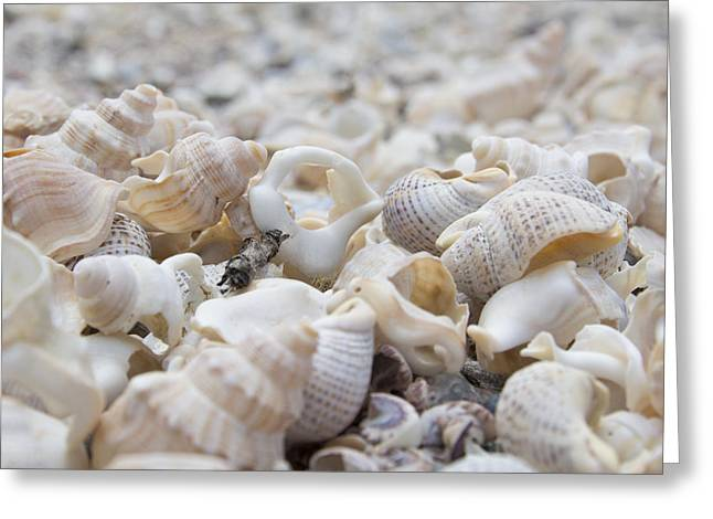 Shells 1 Greeting Card