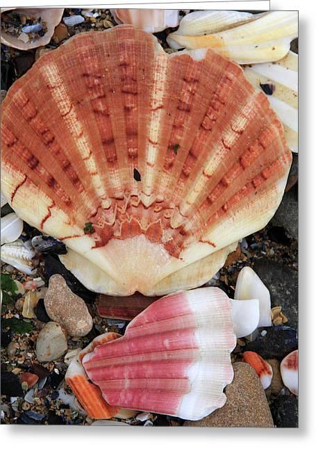 Shells Greeting Card by Aidan Moran