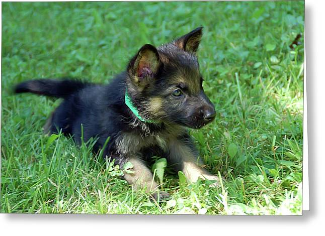 Shepherd Pups 18 Greeting Card by Aimee L Maher Photography and Art Visit ALMGallerydotcom