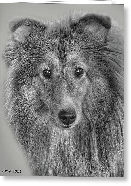 Shetland Sheepdog Greeting Card by Larry Linton