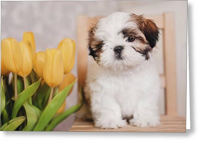 Shih-tzu Puppy With Yellow Tulips Greeting Card by Elizaveta Mikheeva