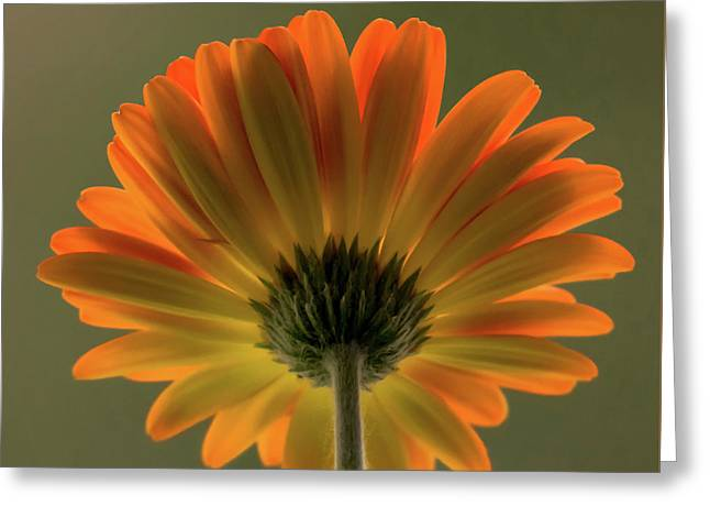 Shine Bright Gerber Daisy Square Greeting Card by Terry DeLuco