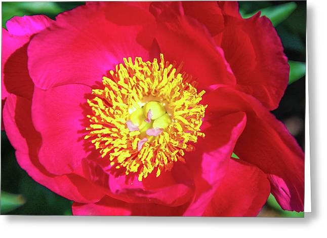 Shiny Pink Peony Greeting Card by Margo Cat Photos