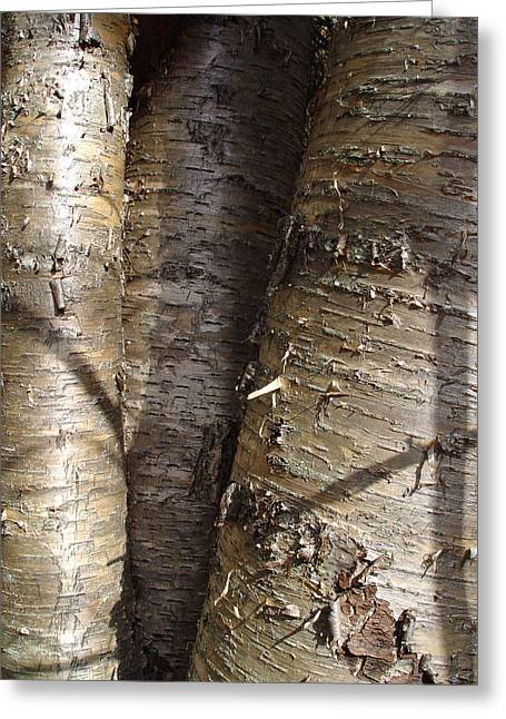 Cummington Greeting Cards - Shiny Silver Birch Greeting Card by Rosemary Wessel