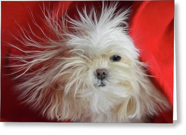 Shocking Bad Hair Day - Impressionist Maltese Dog Portrait Greeting Card by Rayanda Arts