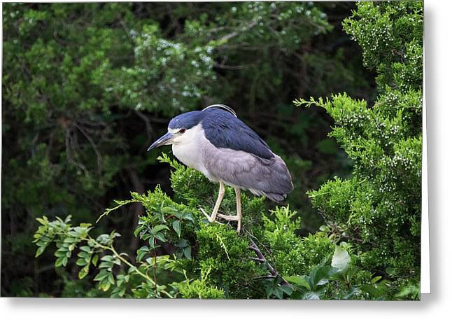 Shore Bird Roosting In A Tree Greeting Card