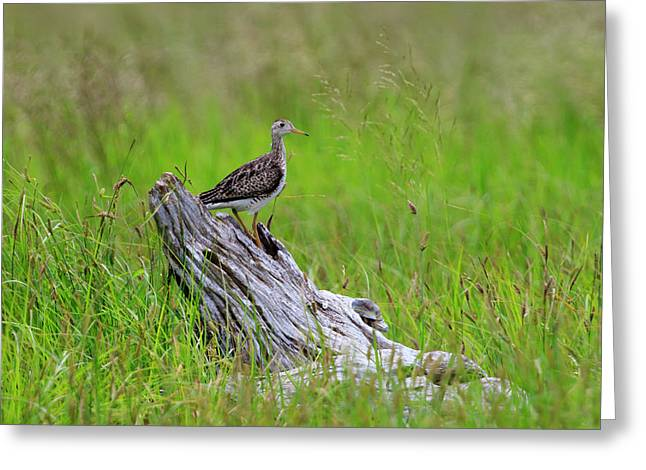 Shorebird Of The Grasslands Greeting Card