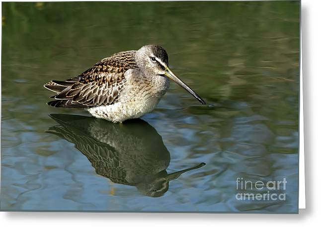 Greeting Card featuring the photograph Short-billed Dowitcher by Sharon Talson