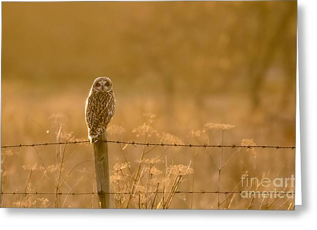 Short-eared Owl At Sunset Greeting Card