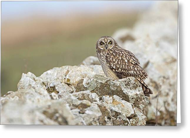 Short-eared Owl In Cotswolds Greeting Card