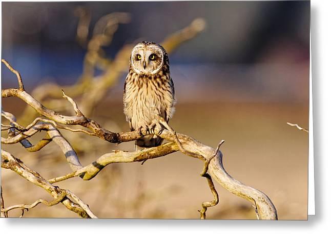 Short-eared Owl Greeting Card by Matt Ferguson - ferglandfoto