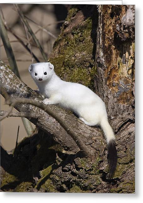 Short-tailed Weasel Mustela Erminea Greeting Card by Konrad Wothe