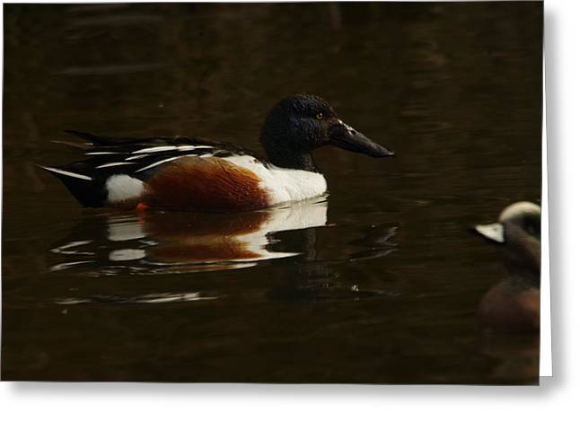 Greeting Card featuring the photograph Shovel Tail And A Wigeon by Jeff Swan