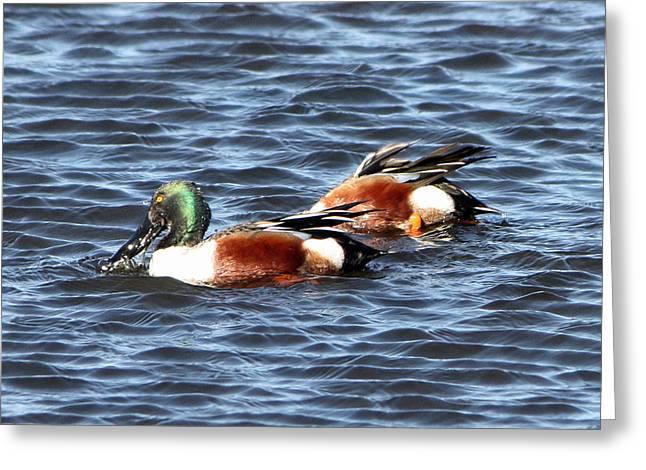 Shoveler Duck 1 Greeting Card
