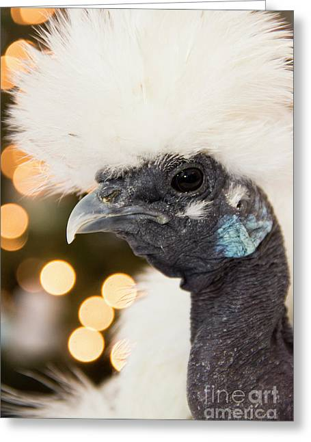 Showgirl A.k.a. Naked Neck Silkies Greeting Card