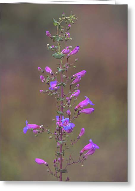 Greeting Card featuring the photograph Showy Penstemon by Alexander Kunz