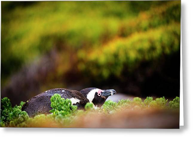 Shy African Penguin Greeting Card by Tim Hester