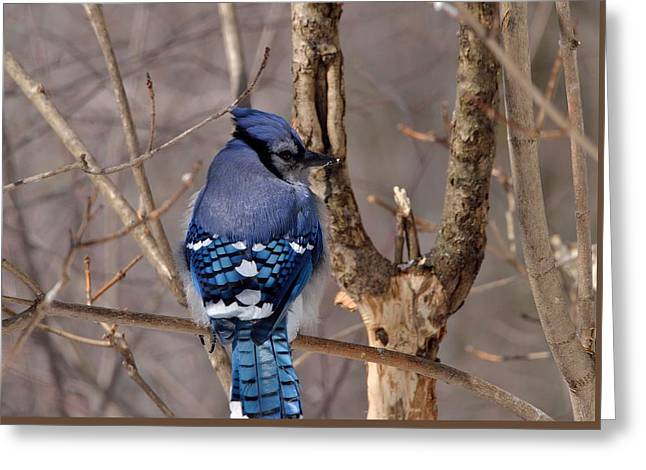Shy Blue Jay  Greeting Card by David Porteus