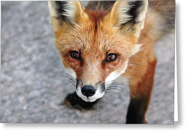 Shy Red Fox  Greeting Card by Debbie Oppermann