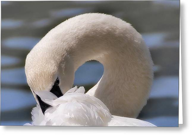 Greeting Card featuring the photograph Shy Swan by Elaine Manley