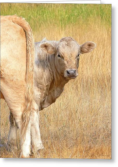 Steer Greeting Cards - Shy White Calf Greeting Card by Jennie Marie Schell