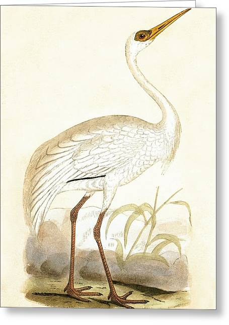 Siberian Crane Greeting Card