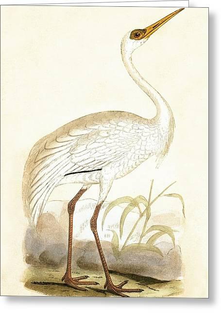 Siberian Crane Greeting Card by English School