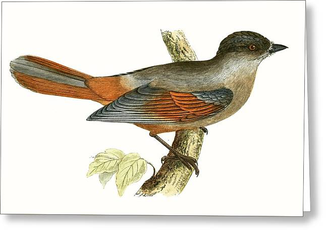 Siberian Jay Greeting Card by English School