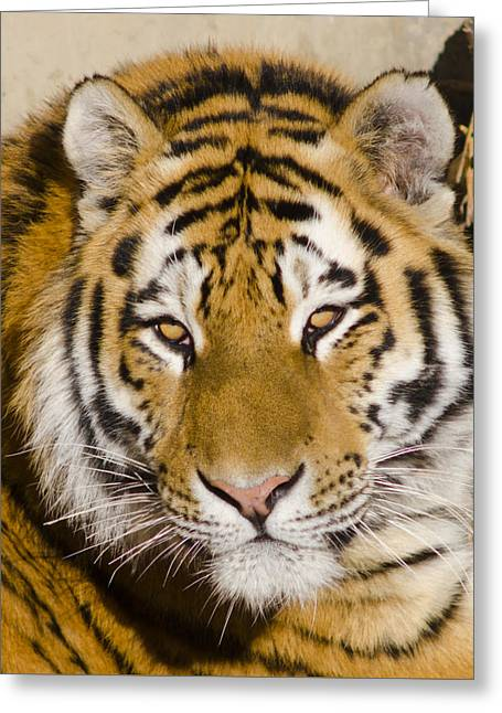 tiger tigris xxx