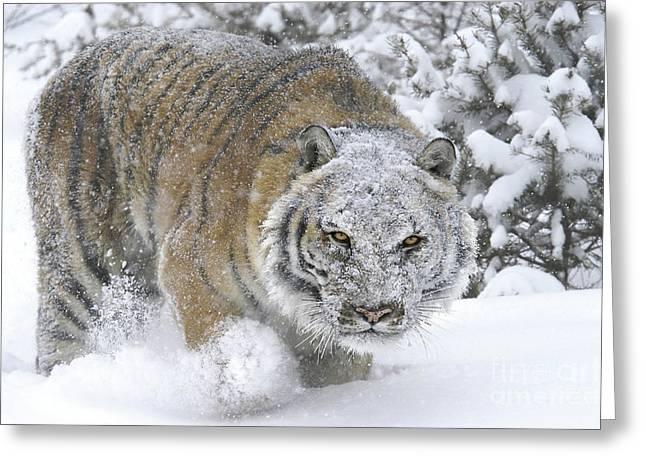 Siberian Tiger Winter Greeting Card