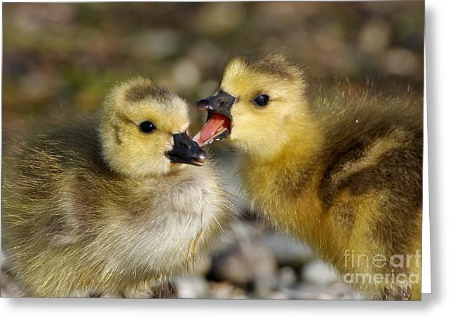 Sibling Love - Baby Canada Geese Greeting Card