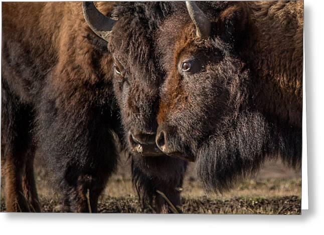 Siblings // Lamar Valley, Yellowstone National Park Greeting Card