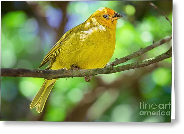 Sicalis Flaveola Greeting Card by Judy Kay