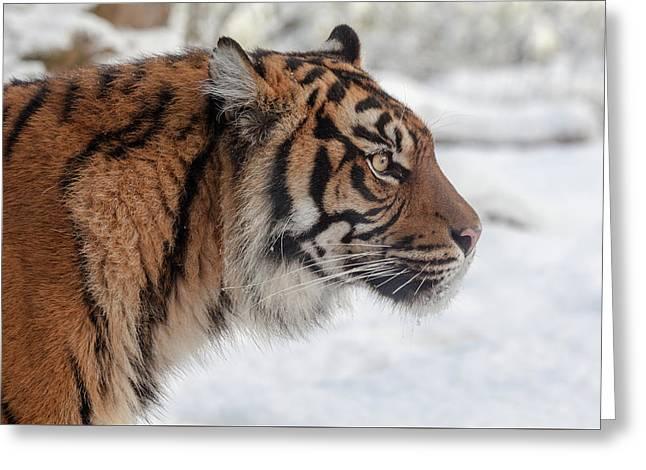 Side Portrait Of A Sumatran Tiger In The Snow Greeting Card