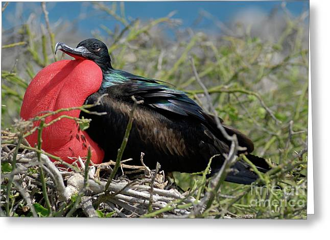 Side View Of Great Frigate Bird In Shrub Greeting Card by Sami Sarkis