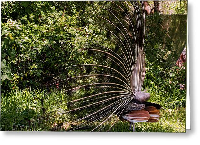 Side View Of Peacock Greeting Card by Zina Stromberg