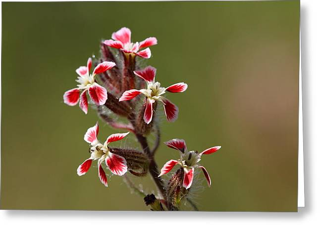 Greeting Card featuring the photograph Silene by Richard Patmore