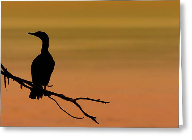 Cormorants Greeting Cards - Silhouette Cormorant Greeting Card by Sebastian Musial