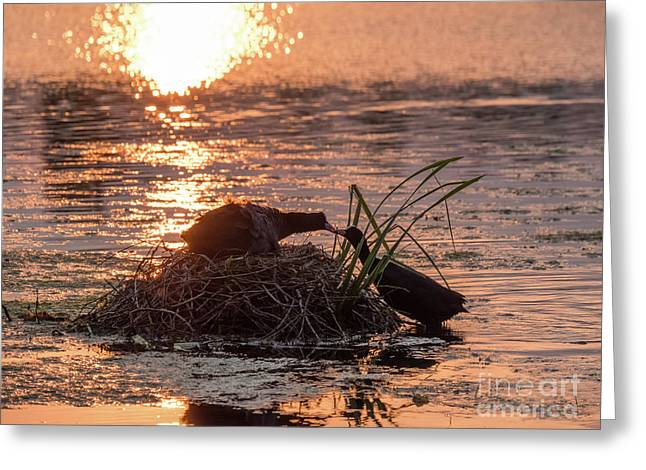 Silhouette Of Nesting Coots - Fulica Atra - At Sunset On Golden Po Greeting Card
