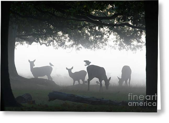 Silhouette Of Red Deer - Cervus Elaphus -  Hinds Or Females Grazin Greeting Card