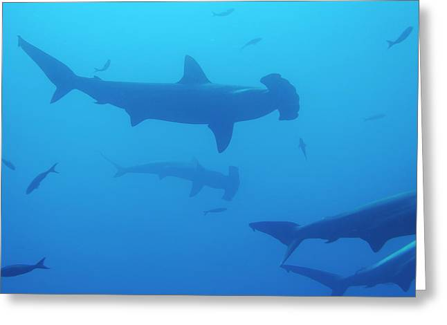 Undersea Photography Greeting Cards - Silhouette of Scalloped Hammerhead sharks Greeting Card by Sami Sarkis
