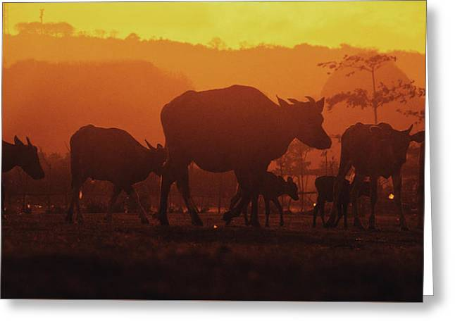 Silhouetted Heard Of Cows And Calfs In Pasture During The Golden Sunset Greeting Card