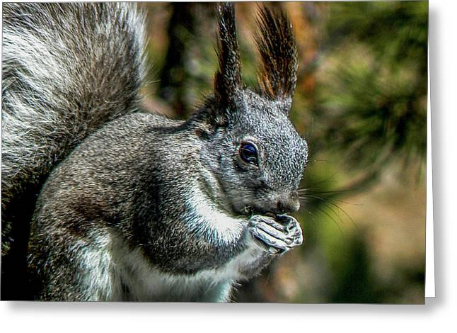 Silver Abert's Squirrel Close-up Greeting Card