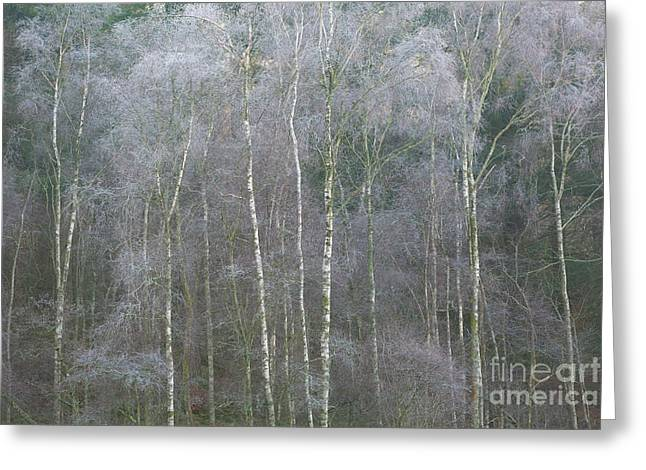 Silver Birches Greeting Card